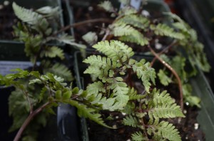 pictum painted fern