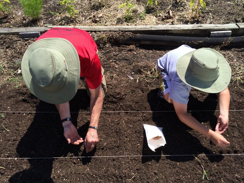 Planting Bush Beans 052414