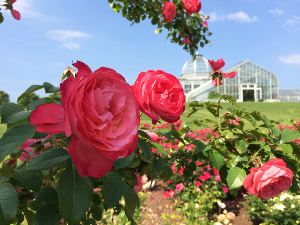 Roses and the Conservatory