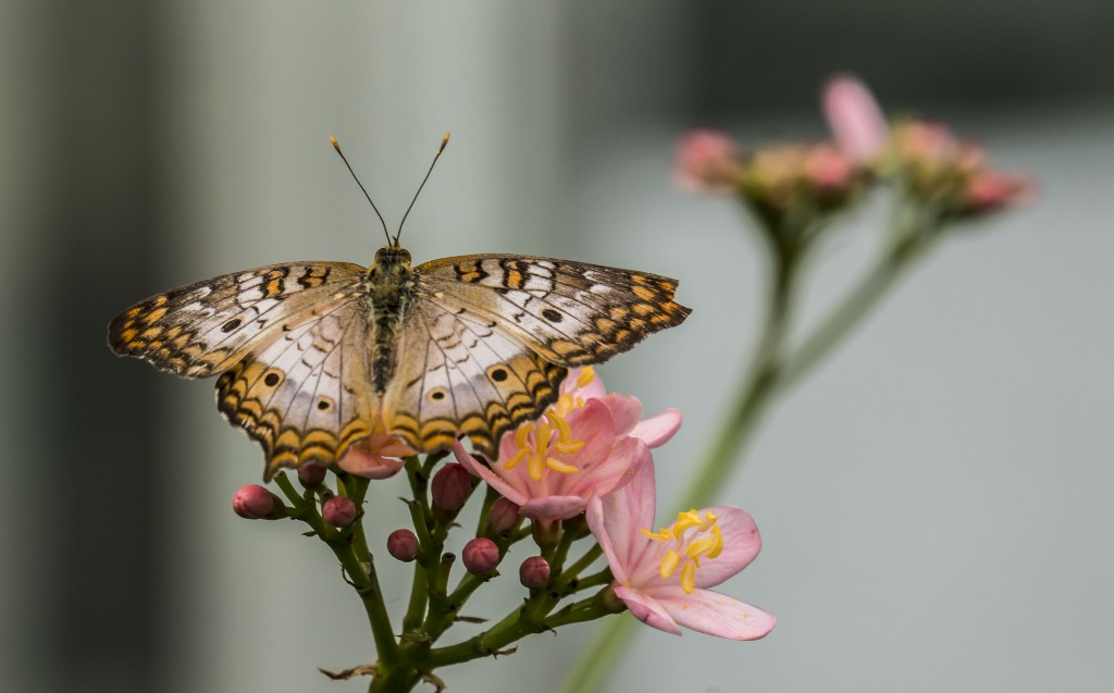 Pictured: White peacock butterfly (Anartia jatrophae) with Jatropha integerima 'Pink Princess' photo by Don Williamson Photography