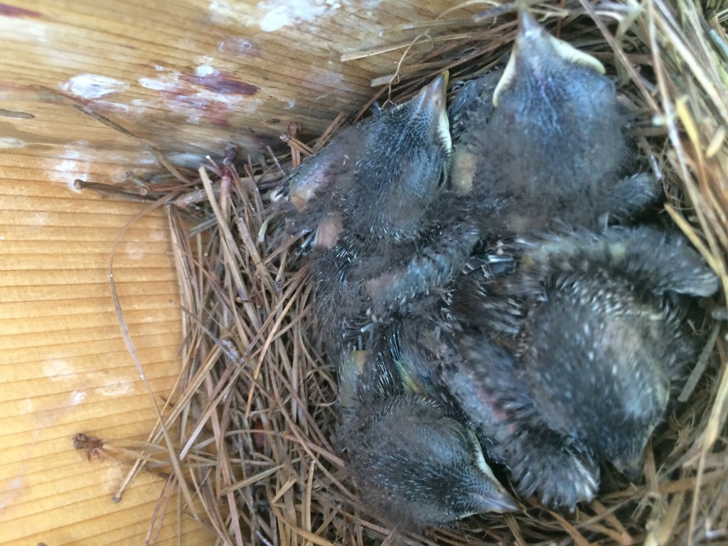 Blue bird chicks