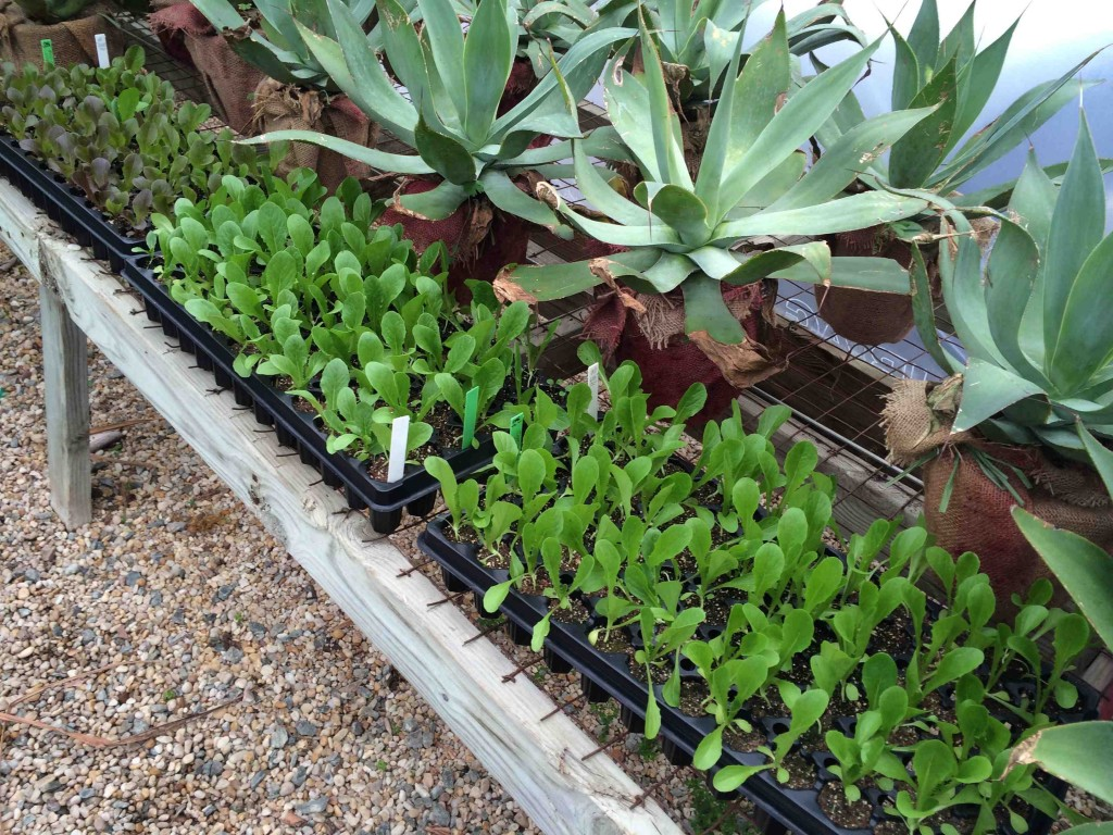 We starting sowing lettuce seed in the greenhouse on February 24. These seedlings are shown from March 25, with Blue Flame agave standing guard.