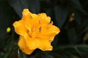Dl little carnation