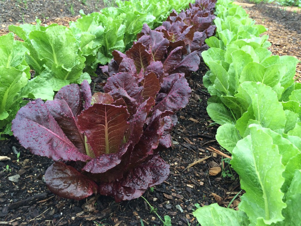 We grew three cultivars: Green Forest, Coastal Star and Red Cash. All three were Romaine-style heads and the organic seed was sourced from Johnny's Seeds. The Red Cash was the most attractive, but the Coastal Star produced the densest, heaviest heads.