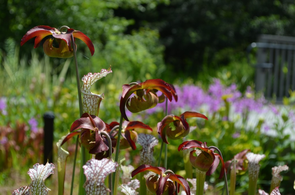 White top pitcher plant Sarracenia leucophylla with red-green blooms.