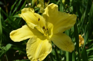 Day lily 'plate of sunshine'