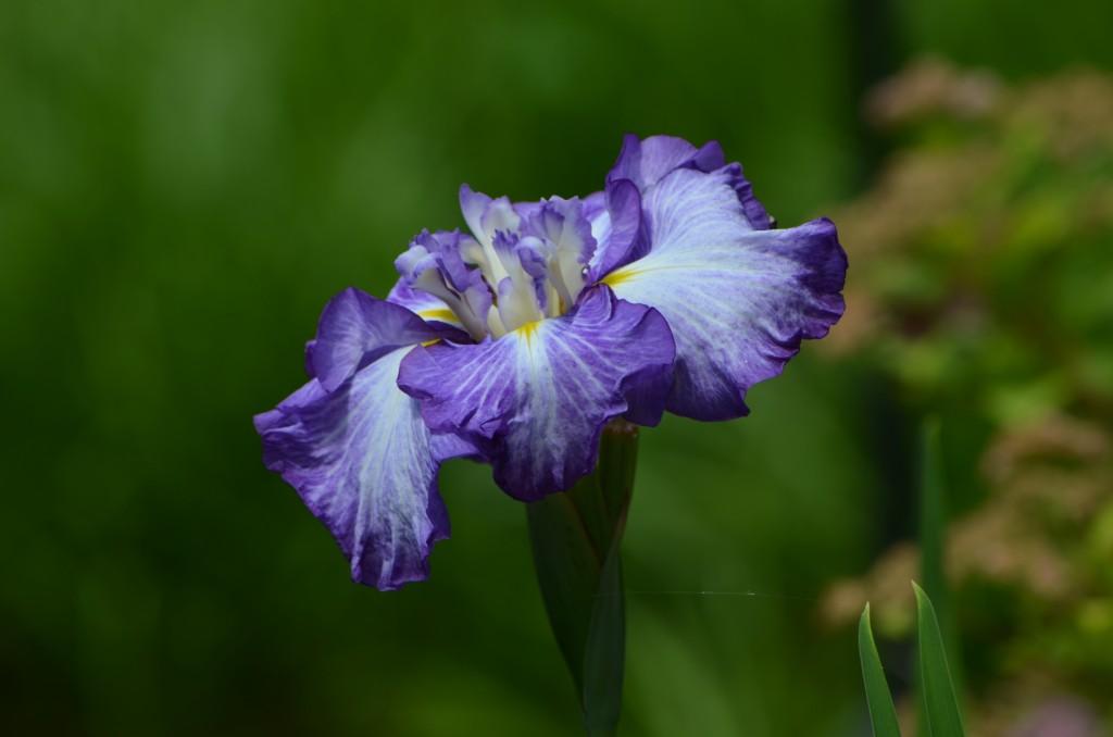 iris ensata lady in waiting