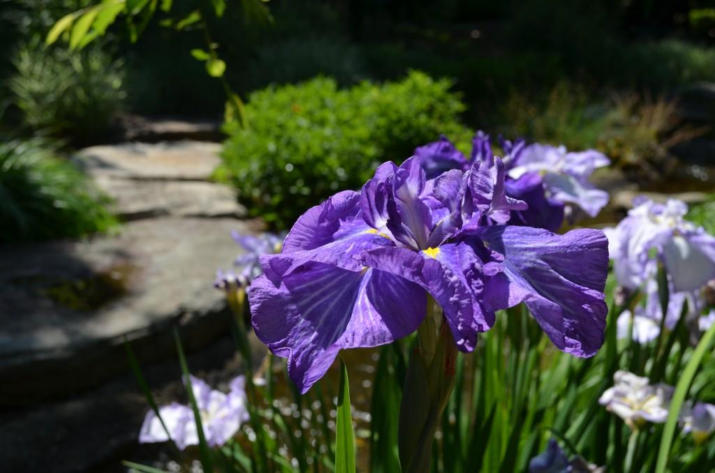 iris reign of glory