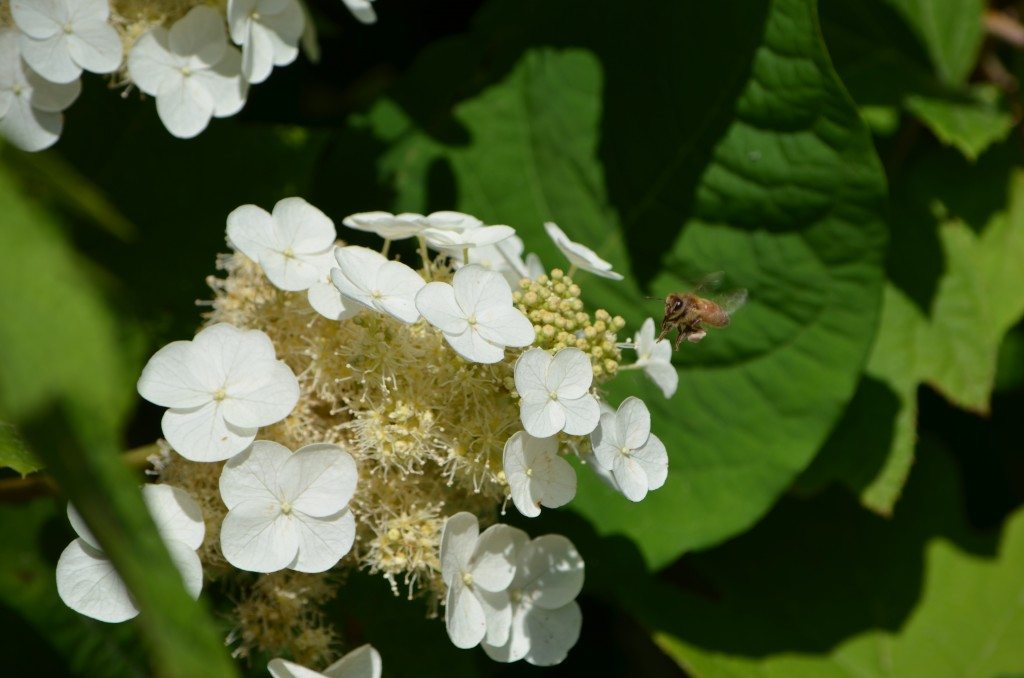 bee and hydrangea
