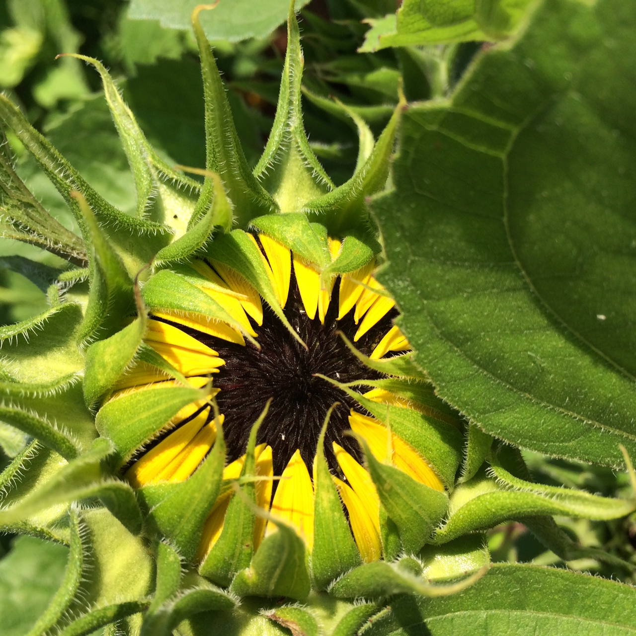 A sunflower just starting to bloom along the Main Garden Path