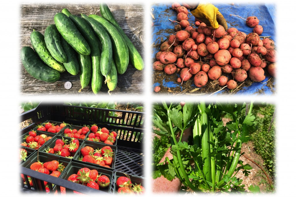 Clockwise from upper left: Various cucumbers, Red Pontiac potatoes, Earliglow strawberries, Tango celery.