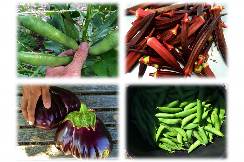 "Clockwise from upper left: Windsor Fava beans, eggplant (the variety is in question - was supposed to be ""Classic Bell"" but has Sicilian characteristics), Red Velvet okra, Sugar sprint peas."