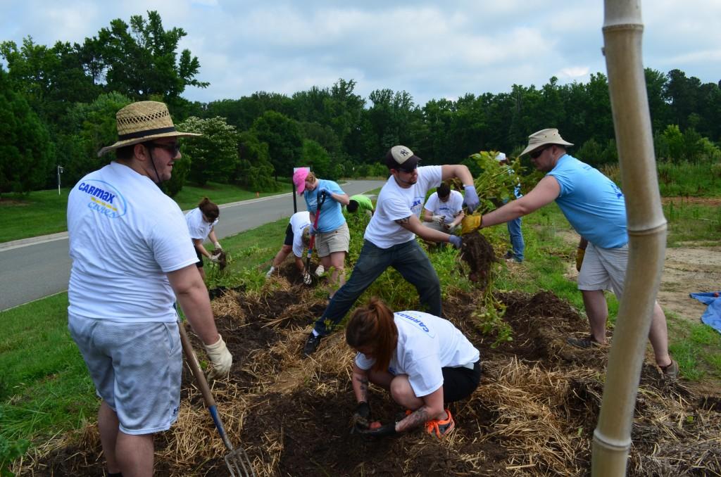 harvesting new potatoes at Lewis Ginter Botanical Garden