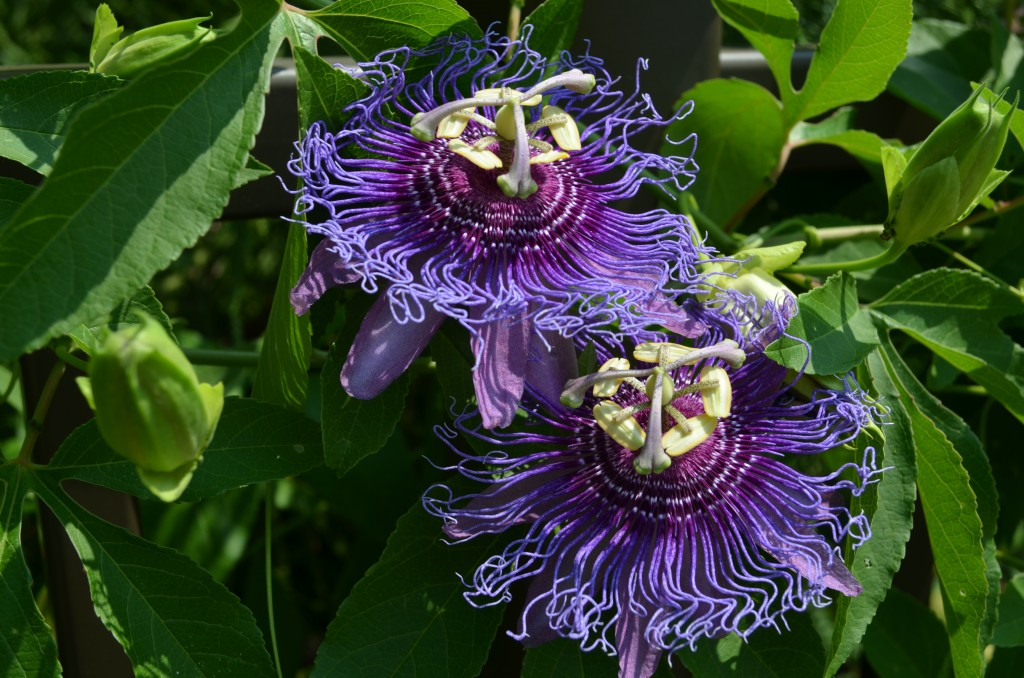 Double passionflower