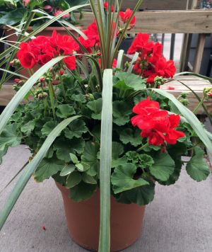 Geraniums produce geraniol oil, which is a natural alternative for chemical insecticides. Their bright, cheerful blooms are an added bonus.