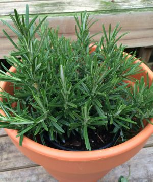 Rosemary is good for more than seasoning and good looks. While the scent of this woody perennial is pleasing to gardeners and chefs, it tends to repel mosquitoes.