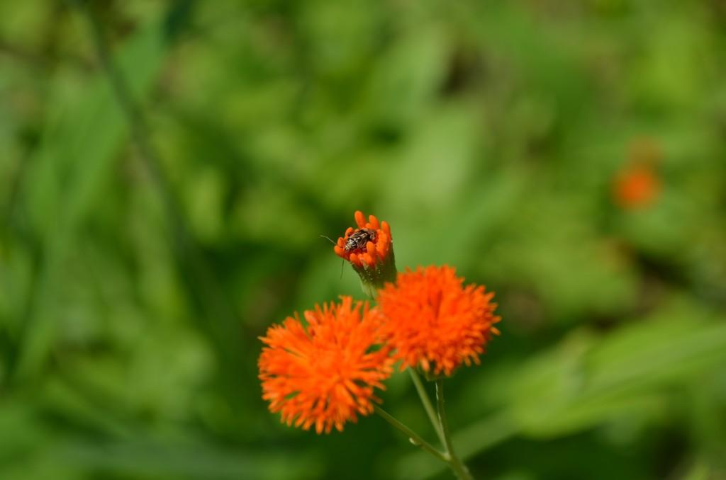 tasel flower Emilia coccinea
