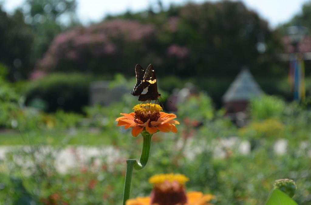 zinnia butterfly