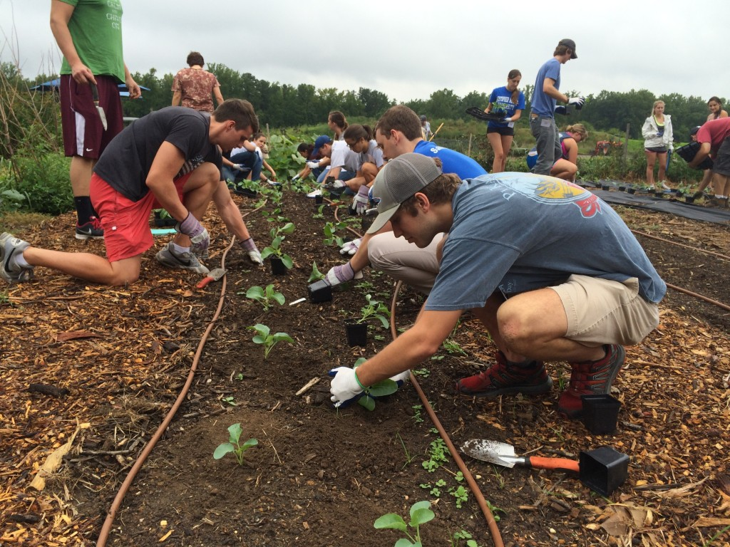 The students carefully lay out the cauliflower transplants in double row beds.