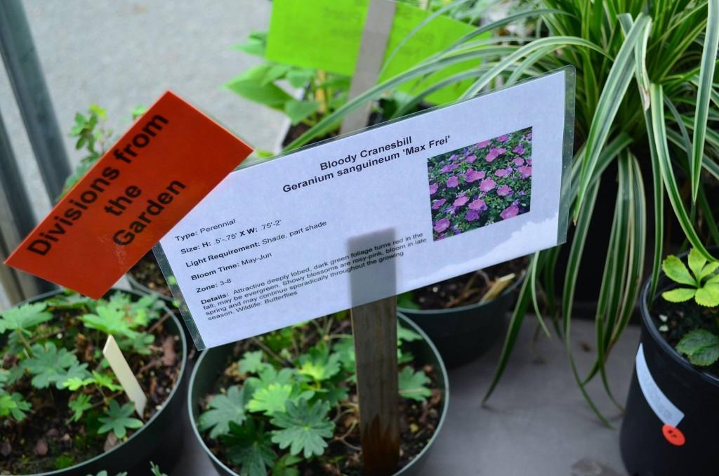 Bloody Cranesbill Geranium sanguineum max frei