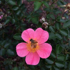 A honey bee on Rosa 'Topalina' in the Rose Garden at Lewis Ginter Botanical Garden.