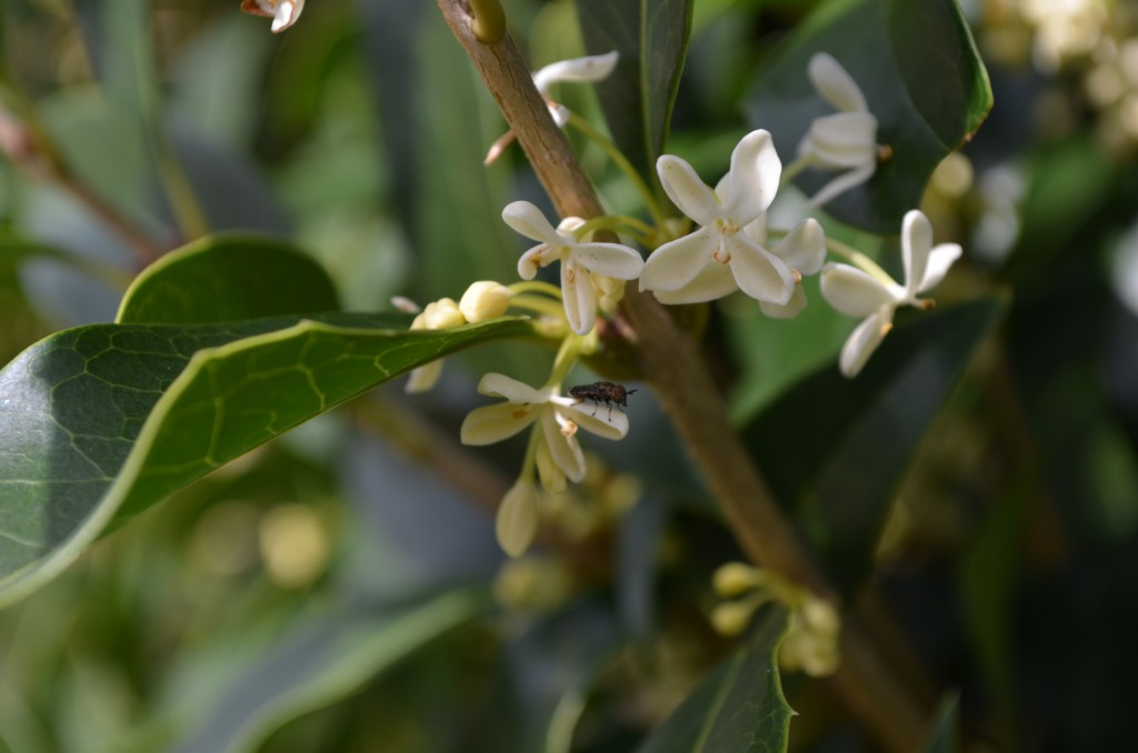 osmanthus or sweet olive-- Osmanthus x fortunei 'Fruitlandii'