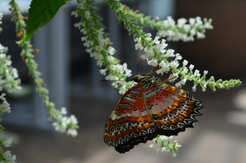outside of a Leopard Lacewing butterfly