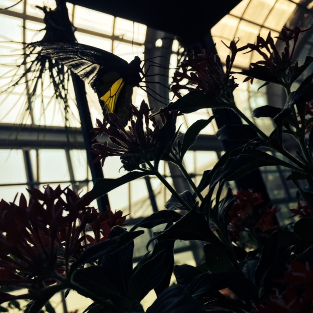 profile of a butterfly in the Conservatory.