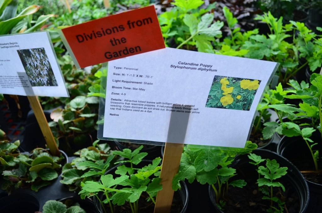 woodland poppy