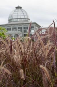 non-hardy purple fountain grass