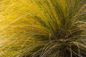 Gardening ornamental grass to the rescue lewis ginter for Yellow green ornamental grasses