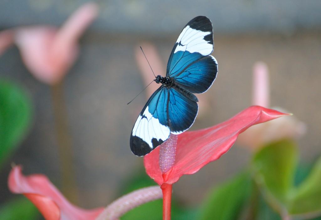 blue butterfly -- Doris Longwing