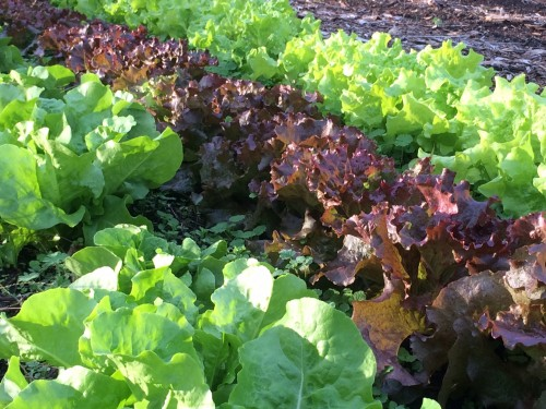 Red and green lettuce growing in the Community Kitchen Garden