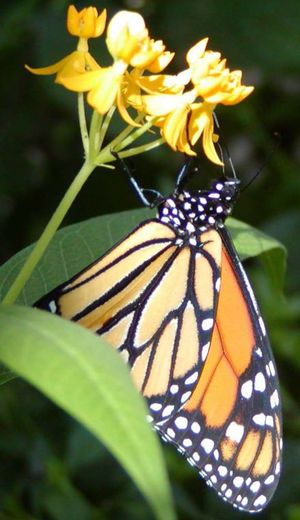 a native monarch butterfly on milkweed