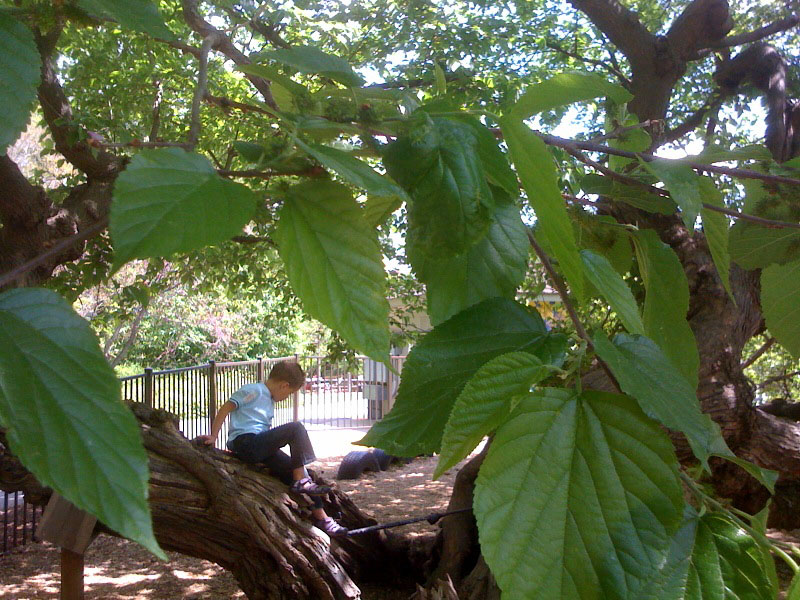 My son, as a youngster, in the Children's Garden mulberry tree.
