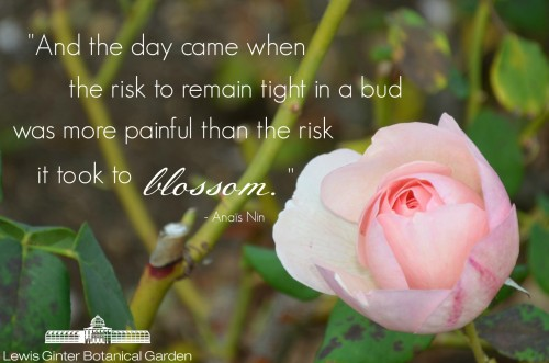 Anais Nin Quote and rose