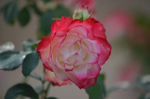 Grandiflora Rosa 'Cherry Parfait' Meilland