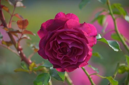 Grandiflora Rose 'Wild Blue Yonder' Carruth