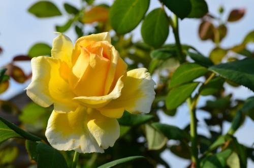 Hybrid Tea Rose Rosa 'Bella Di Todi'