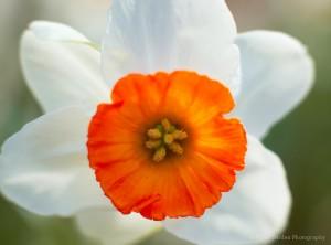 Daffodil --  Photo by Tyler Darden.