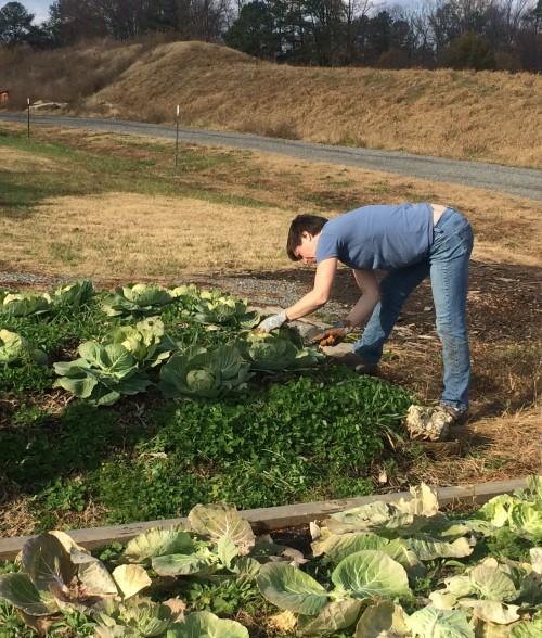 harvesting cabbage