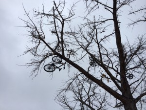 bikes in ginkgo tree
