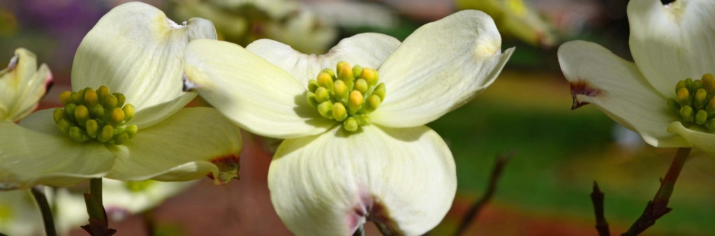 dogwood blooms choose a healthy tree