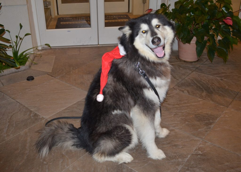 Alaskan Malamute with Holiday Hat