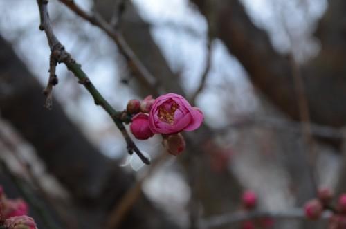 singular Prunus Mume Bloom with buds