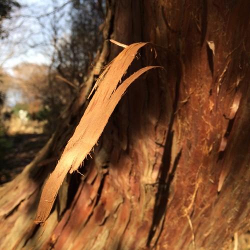 Interesting ragged tree bark in sunlight