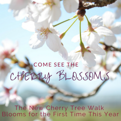 Cherry Blossoms and Cherry Tree Walk