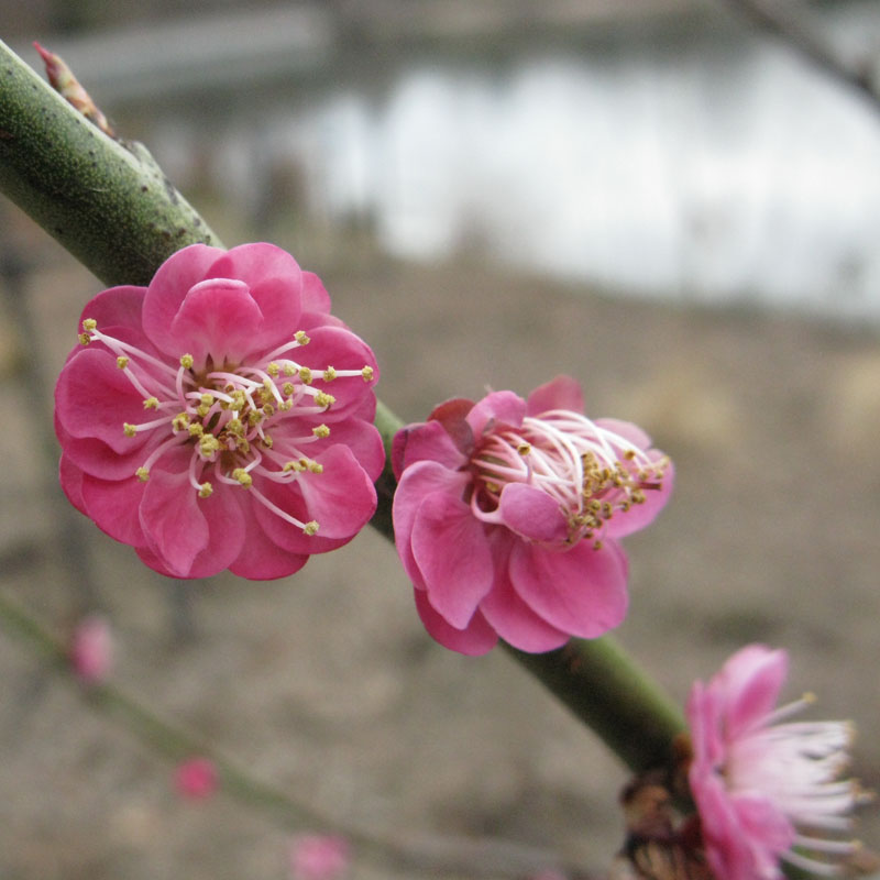 Prunus mume 'Kobai along the new Cherry Tree Walk. Photo by Christine Watson