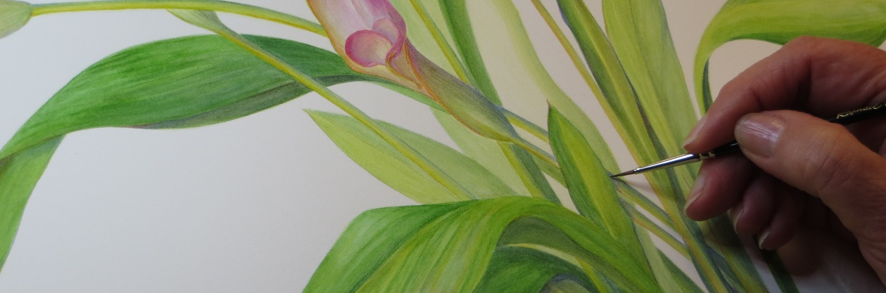 Botanical Illustration Lewis Ginter