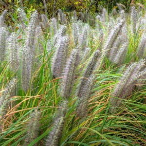 Grasses with seeds